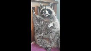 Pet raccoon grooms himself every night before bed