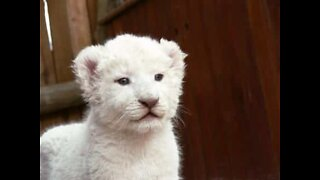 Rare white lion cub spotted at Kruger National Park