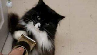 Gato luta contra máquina de barbear