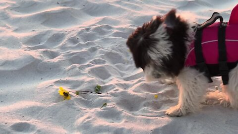 Cute little puppy thinks flower is a chew toy