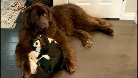 Newfie adorably cradles his puppy brother