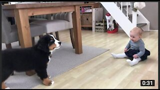 FIRST MEETING BABY VS BERNESE MOUNTAIN DOG PUPPY2021