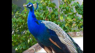 Beautiful peacock adorns mailbox in suburban Los Angeles