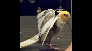 Proud cockatiel shows off his impressive wings