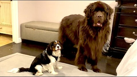 Newfie helps manage mischievous Cavalier puppy