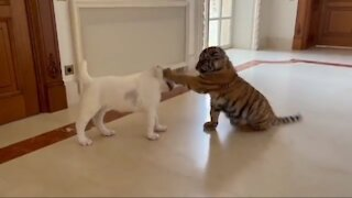 Baby Tiger Vs Cute Dog FIGHT