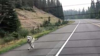 Wolf chases family car