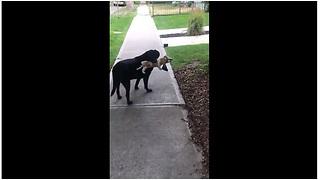 Sweet dog takes beagle stuffed animal on morning stroll