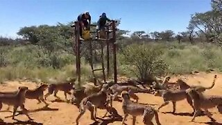Brave Volunteers Surrounded By Cheetahs At Feeding Time