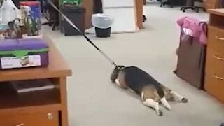 Beagle throws tantrum when not allowed to play