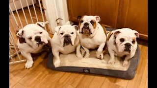 Mama bulldog showered with love from her family