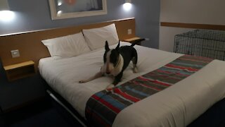 Bull Terriers can't contain excitement for first night in a hotel