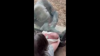 gorila boston