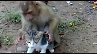 Monkey vs cat fight -