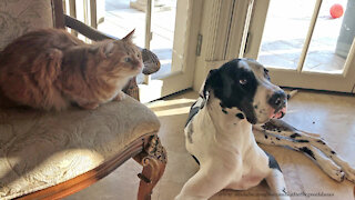 Laid Back Cat And Great Dane Patiently Wait For A Snack