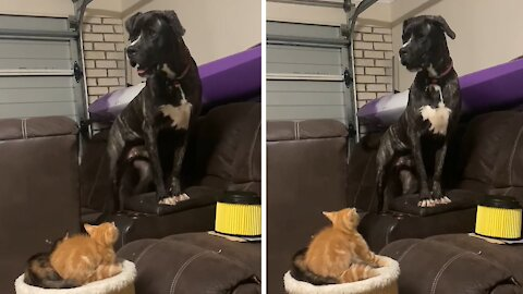 Huge dog cornered by two tiny little kittens