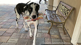 Happy Great Danes Enjoy A Snack While Delivering Groceries