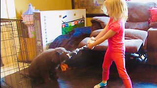 10-week-old Newfoundland puppy shows off his impressive strength