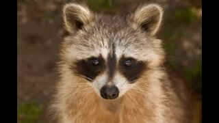 Family finds raccoon sleeping in cardboard box
