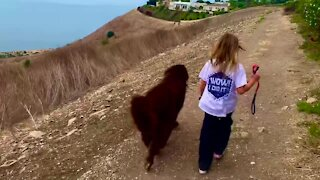 Little girls walks with her bestie - a giant Newfoundland