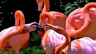 One flamingo honks, comical full scale squabble follows