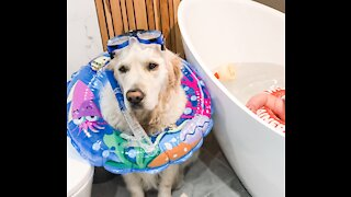 Golden Retriever is ready to snorkel during baby bath time