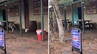 A Kangaroo Hops Into A Bar: Thirsty Kangaroo Bounds Into Bar For A Drink
