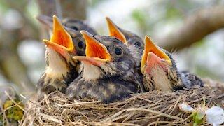 sweet Mother Bird feeding her Little Babies