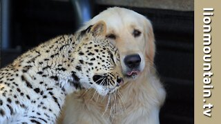 Animal Friends | The leopard and the golden retriever who are the best of friends.