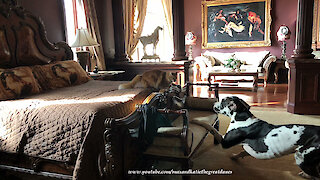 Funny Cat Teases and Chases Great Dane ~ Cat and Dog Play Tag