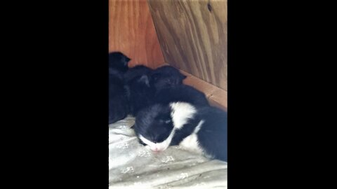 🐈Hissy brought the kittens back after she moved them.😹Hissyは子猫を移動させた後に持ち帰ってきました😻