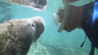 Snorkeler meets a manatee up close and personal