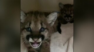 Two mountain lion cubs rescued from California fires after they lost their mother