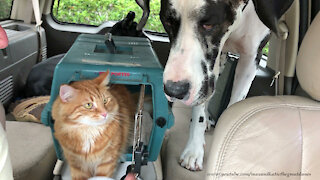 Great Dane patiently waits for cat to share his ice cream treat