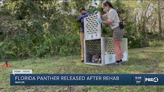 Rescued panther released