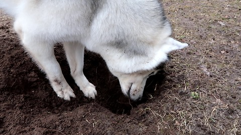 HUSKY WANTS TO PLAY WITH CHIPMUNK