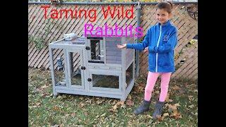 Taming Cotton Tail Rabbits