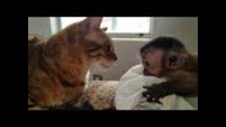 Bengal cat meets Capuchin Monkey