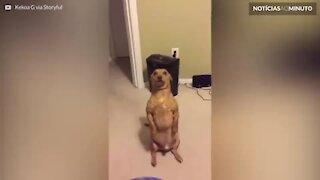 Cão senta como se fosse humano para pedir comida