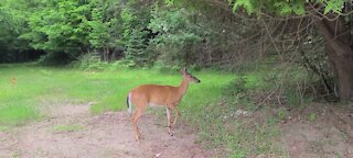 Protective deer does a dance to show who' s in charge