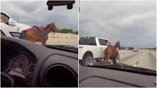 Cavallo corre in mezzo al traffico, e viene soccorso