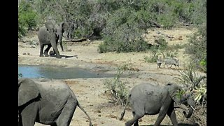 Grumpy Elephant Chases Thirsty Warthogs Away From Watering Hole