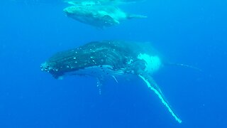 Diver's incredible encounter with humpback whale and her newborn calf