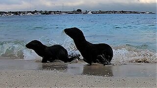 Baby sea lions run startled when the waves crash on them in Galapagos Islands