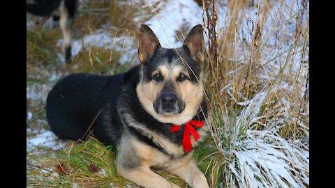 Sheepdog, PIF, ovcharka, восточно европейская овчарка, ВЕО