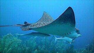 Gigantic stingray cruises casually past unsuspecting scuba diver