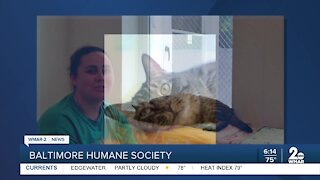 Bucky the cat is up for adoption at the Baltimore Humane Society