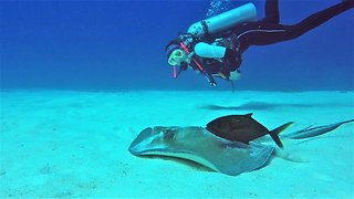 Scuba diver has close-up experience with beautiful stingray