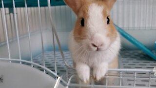 A rabbit that can't resist temptation