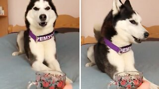 Husky's reaction to cup of tea is simply priceless